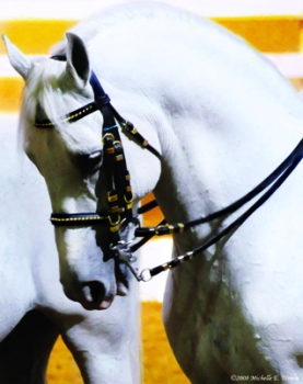 """Dancing Lipizzan - Photography 2011 Copyright by Michelle McCain of Hendersonville, NC"""