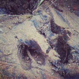 deer-tracks